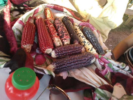 Indigenous Corn